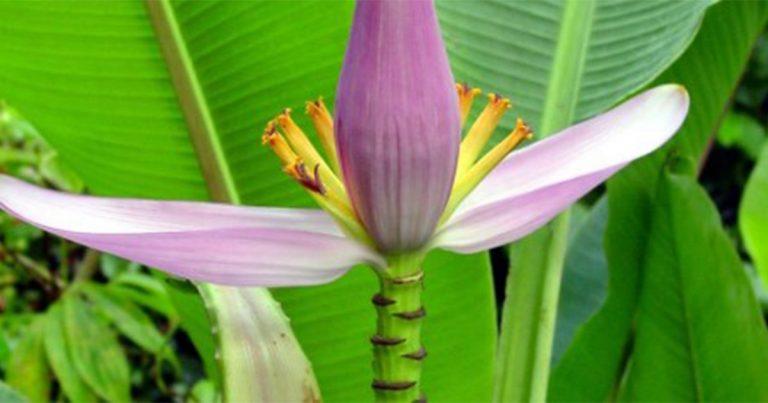 Banana Flower, Blossoms of Optimal Health: 10 Health Benefits
